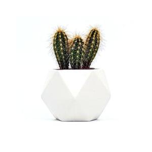 Cactus olie